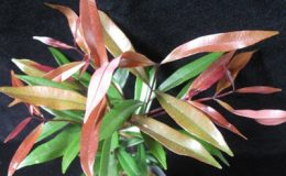 Syzygium-paniculatum-long-leaf-Eugenia-myrtifolia-20-e1451311722866