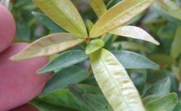 Syzygium-paniculatum-small-leaf-23