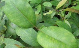 Syzygium-refertum-23