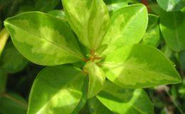 Syzygium-sp-T01-Dwarf-variegated-35