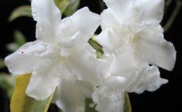 Tabernaemontana-divaricata-Cream-margin-leaf-30