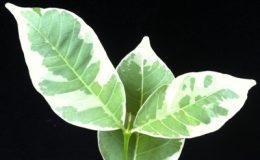 Wrightia-sirikitiae-albomarginata-graftedTF-75-