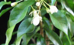 Wrightia-sp-T03-Dwarf-double-flower-24