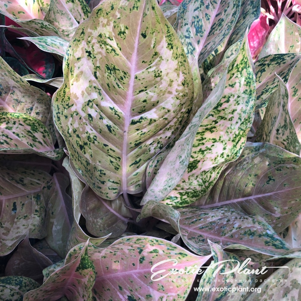 aglaonema Frosted Miracle 40
