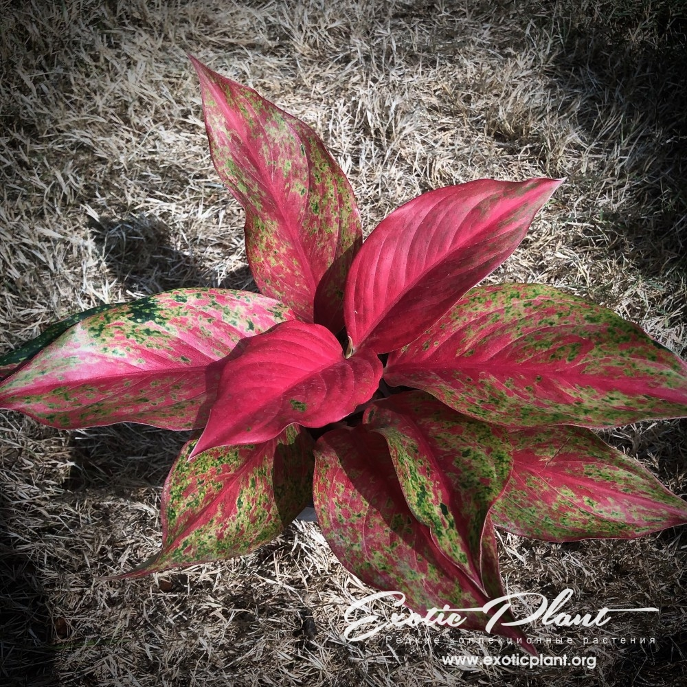 aglaonema Red Moon 35