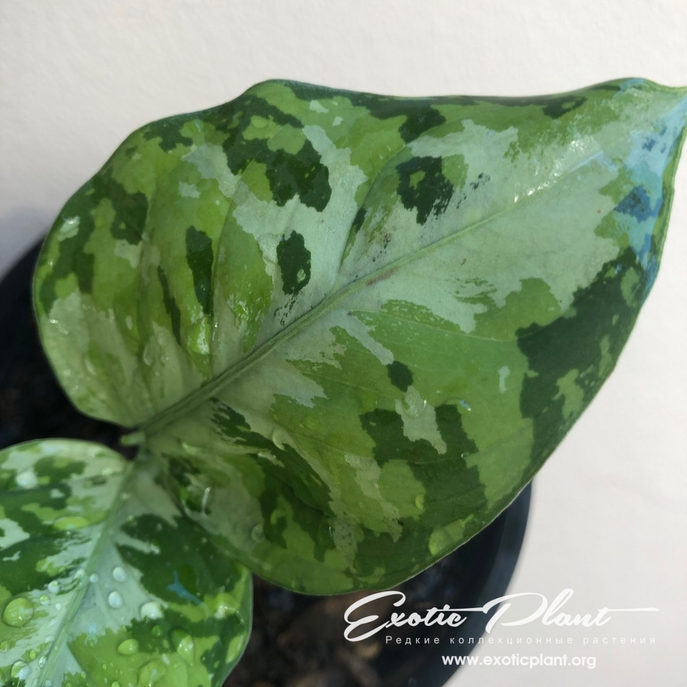 aglaonema pictum tricolor silver center 120