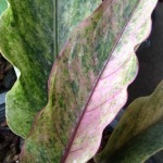 anthurium-Black-Dragon-pink-variegated-S-140-растение-меньше-чем-на-фото-150×150-2