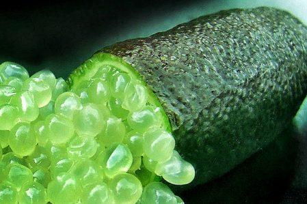 Australian finger lime / Австралийский пальчиковый лайм