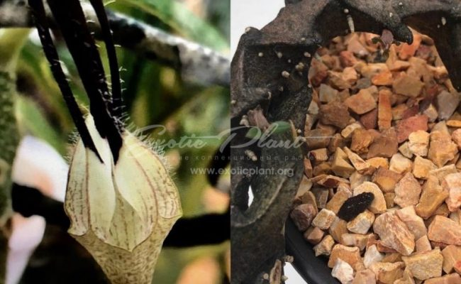 ceropegia bosseri flower