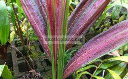 chambreyronia-hookerii-