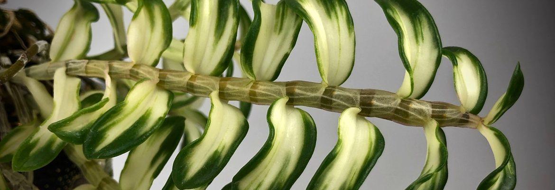 Другие орхидеи