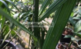 dypsis-sp-mealy-bugs-100