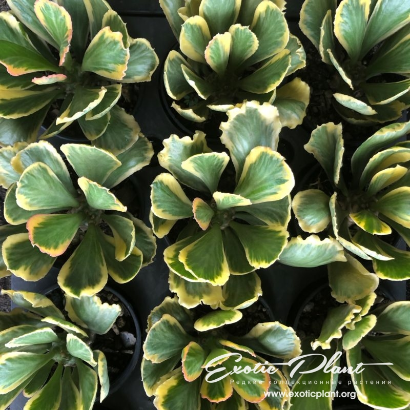 euphorbia poisonii variegated 35