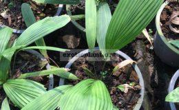licuala-triphylla-board-leaf-80