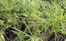 livistona-benthamii-golden-form-65