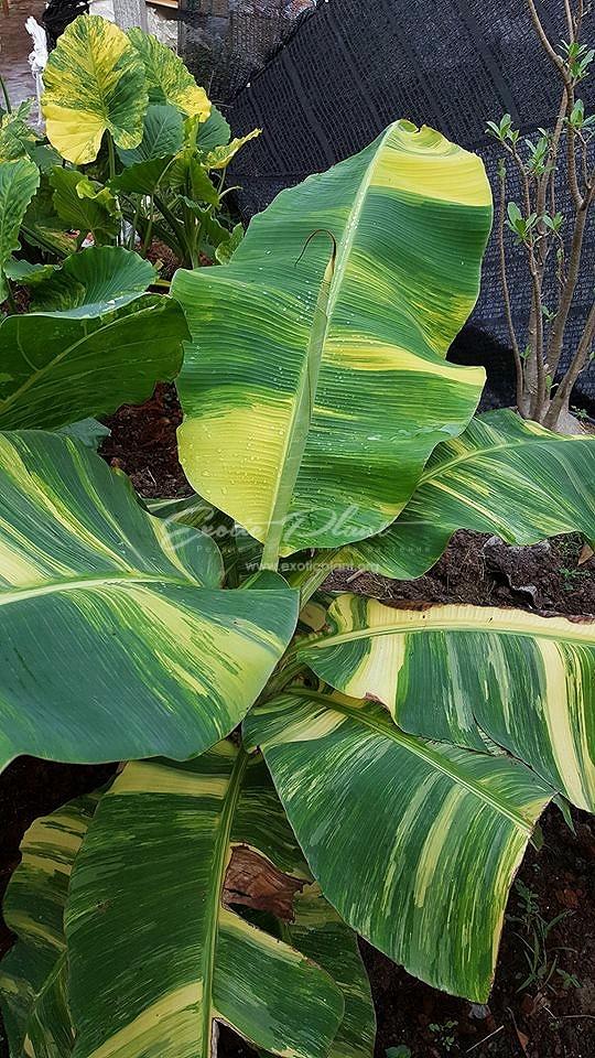 "Musa ×paradisiaca (banana) Ice Cream (yellow variegated) / банан райский вариегатный ""Айскрим"", ""Мороженое"" (желтая вариегатность)100"
