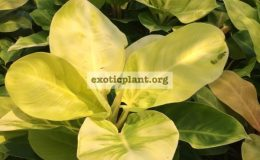 philodendron-Moonlight-