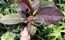 philodendron-Noname-Purple-Leaves-