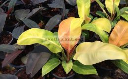 philodendron-Sunlight-Red-Splash