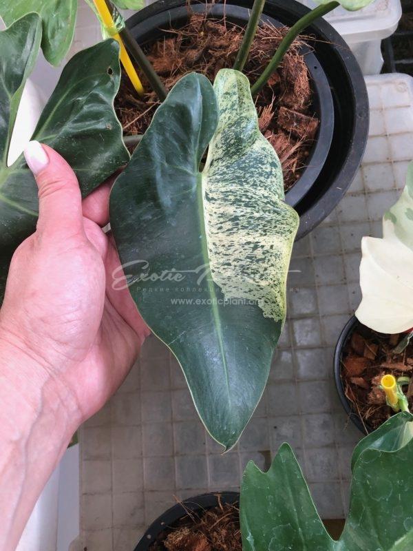 philodendron ilsemanii variegated / Филодендрон Илземана вариегатный