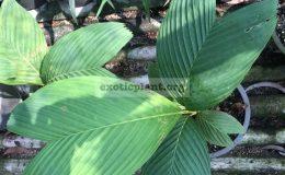 pinanga-punicea-65