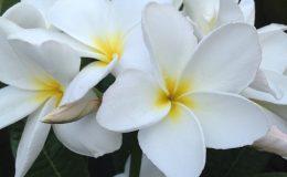 plumeria-Bali-White-25