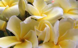 plumeria-Sngam-Yellow-30