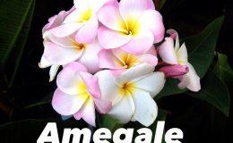 plumeria-amegale-20