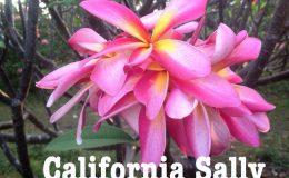 plumeria-california-sally-50