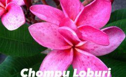 plumeria-chompu-loburi-28