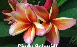 plumeria-cindy-schmidt-20