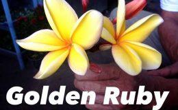 plumeria-golden-ruby-50