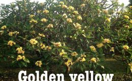 plumeria-golden-yellow-20