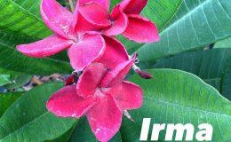 plumeria-irma-20