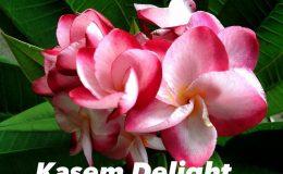 plumeria-kasem-delight-35