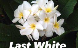 plumeria-last-white-30