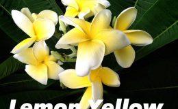plumeria-lemon-yellow-25