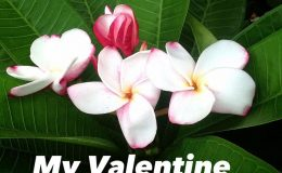 plumeria-my-valentine-23