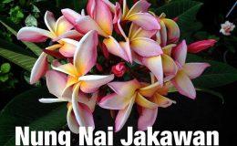 plumeria-nung-nai-jakawan-25