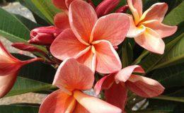 plumeria-orange-apricot-28