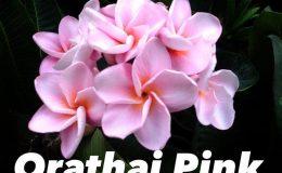 plumeria-orathai-pink-23