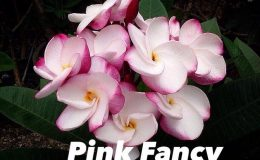 plumeria-pink-fancy-25