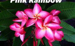 plumeria-pink-rainbow-20