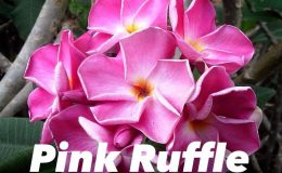 plumeria-pink-ruffle-30