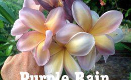 plumeria-purple-rain-30