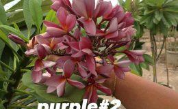 plumeria-purple2-20