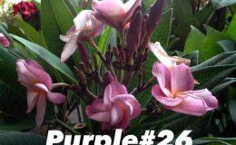 plumeria-purple26-18