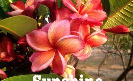 plumeria-sunshine-20