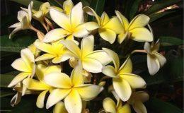plumeria-thailand-yellow-18