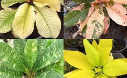 plumeria-variegated-mix-each-type-35-or-set-of-4-types-for-100